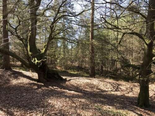 Cowdray Ancient Trees