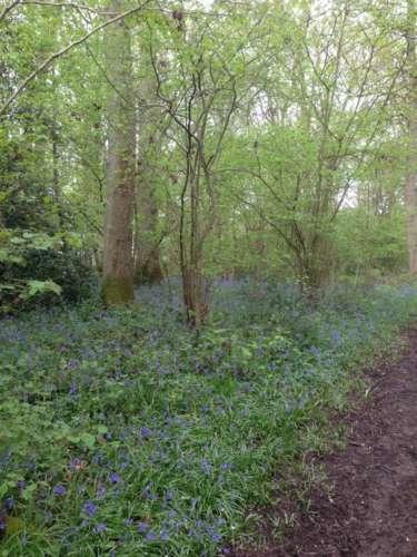 Rivers Wood Bluebells